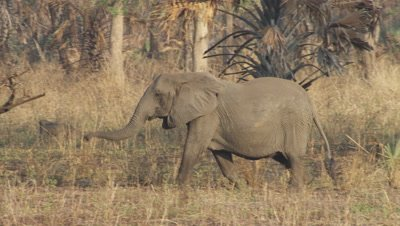 Tuskless elephant walking through dry landscape