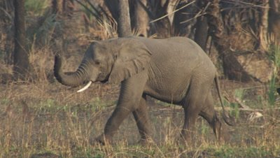 Pair of elephants walks through dry forest,grass