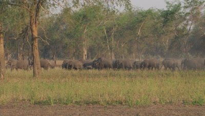 Wide shot of elephant herd walking in dry forest,grassland