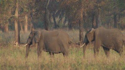 pair of elephants walks through grass near dry forest