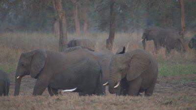 Elephants walking through dry landscape