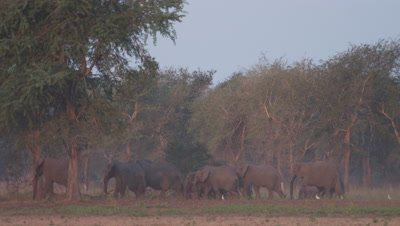 Elephant herd walks at edge of dry forest