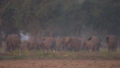 Elephant herd walks,grazes at edge of dry forest