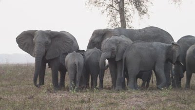 Tuskless family of elephants grazing and flapping ears