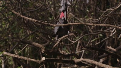 Grey Palm Cockatoo Flares Crest, Grabs Branch with bill