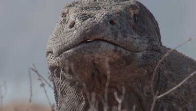 Extreme closeup of Komodo Dragon missing one eye tasting the air in dry grassland near island shoreline