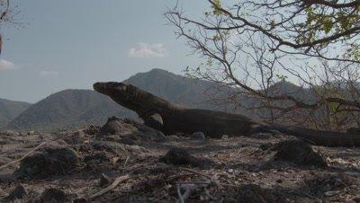 Komodo dragon walking through dusty arid grassland/scrubland tasting air as it walks