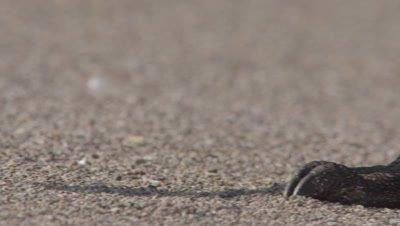 Komodo dragon on beach; close up of feet & claws