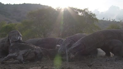 Komodo Dragons eating from carcass in dry grassland landscape