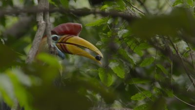 Male red-knobbed hornbill sitting in tree near nest with fruit in bill; mostly obscured by foreground leaves