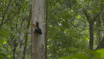 Male red-knobbed hornbill sitting at nest entrance in tree, feeds female inside with regurgitated fruit