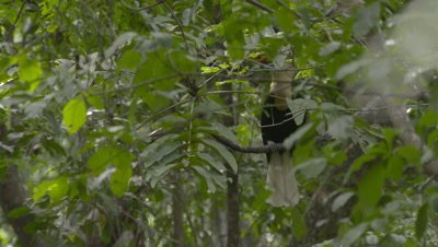 Male red-knobbed hornbill sitting in tree near nest swallowing fruit; mostly obscured by foreground leaves