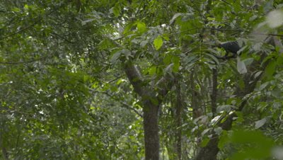 Male red-knobbed hornbill sitting in tree near nest; mostly obscured by foreground leaves