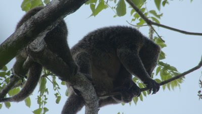 Bear cuscus mother and young in tree