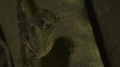 Spectral tarsier climbing and leaping across strangler fig tree branches; displaying foraging and feeding behavior