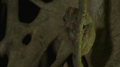 Spectral tarsier in strangler fig tree feeding on insect