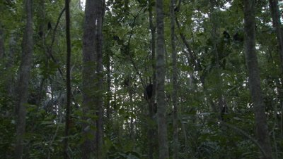 Black crested macaque troop descending from trees in forest