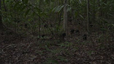 Black crested macaque troop on forest floor displaying various behaviours