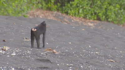 Black crested macaques fighting on black sandy beach