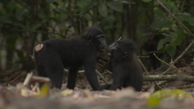 Young Black Crested Macaques playing and wrestling with each other on forest floor