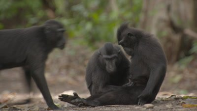 Black Crested Macaques grooming each other, camera pans right to follow mother carrying her baby over the forest floor