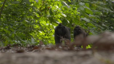 Two Black Crested Macaques walk across the forest floor