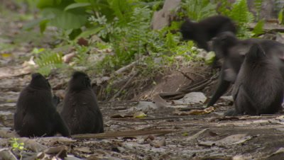 Black Crested Macaques resting on and walking across the forest floor