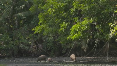 Babirusa family foraging at Adudu salt lick in Nantu Forest