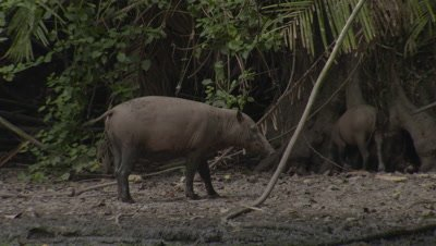 Babirusa family foraging at Adudu salt lick in Nantu Forest; also displaying some social behavior