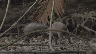 Young Babirusas fighting as Babirusa family forages at Adudu salt lick in Nantu Forest