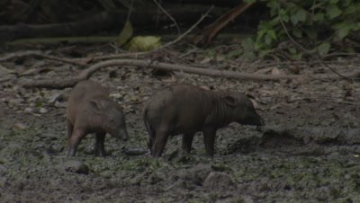 Small family/herd of Babirusa foraging at Adudu salt lick in Nantu forest