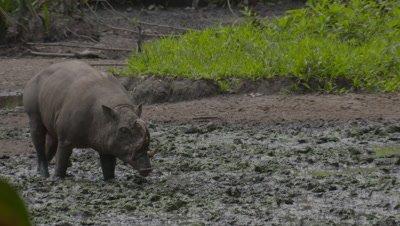 Lone male Babirusa at the Adudu salt lick