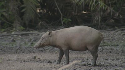 Small family/herd of Babirusa foraging at Adudu salt lick in Nantu forest are startled and run off camera