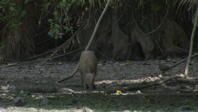 Small family/herd of Babirusa foraging at Adudu salt lick in Nantu forest are startled and run off camera into the forest