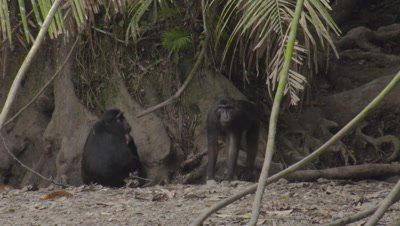Small family of Babirusa and primates (possibly Black Macaque or Heck's Macaque) at salt lick