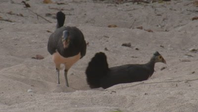 Maleo birds at nest on sandy beach displaying nest building behaviour