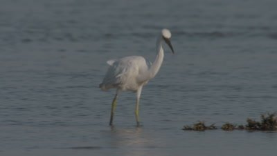 Unknown shore bird looking for food on coral shoreline
