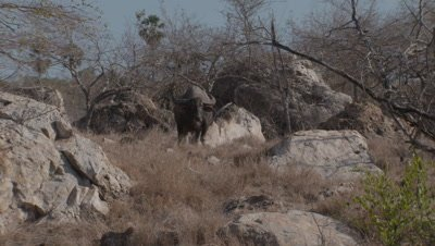 Water buffalo moving slowly amongst boulders and trees whilst grazing through dry grassy landscape