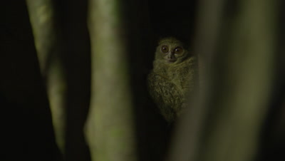 Spectral tarsier resting in Strangler Fig tree