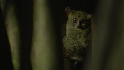Spectral tarsier rests in strangler fig tree, then jumps off screen