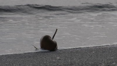 Barringtonia Asiatica seed pod (Sea Poison Tree) deposited on beach by waves