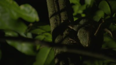 Spectral tarsier clinging to branch in Strangler Fig tree