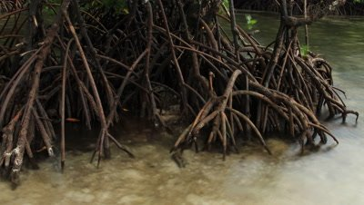 Time lapse of tidal waters rising over mangrove roots; rain creates the impression of noise on the water