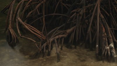 Time lapse of tidal waters rising over mangrove roots