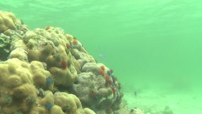 Wide shot of Christmas Tree Worms hiding in hard coral as camera travels over coral reef