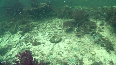 Small fish swim amongst a variety of hard and soft coral as camera travels over coral reef