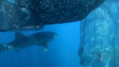 Whale shark feeding at ocean surface near the fishing nets of a bagan (fishing platform)