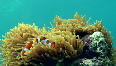 Clown fish move amongst the swaying tentacles of an anemone.