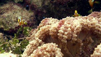 Small clownfish move amongst ringed sea anemone
