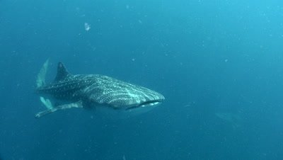 Whale sharks swim past camera; another swims in the background
